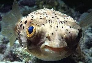 pufur fish